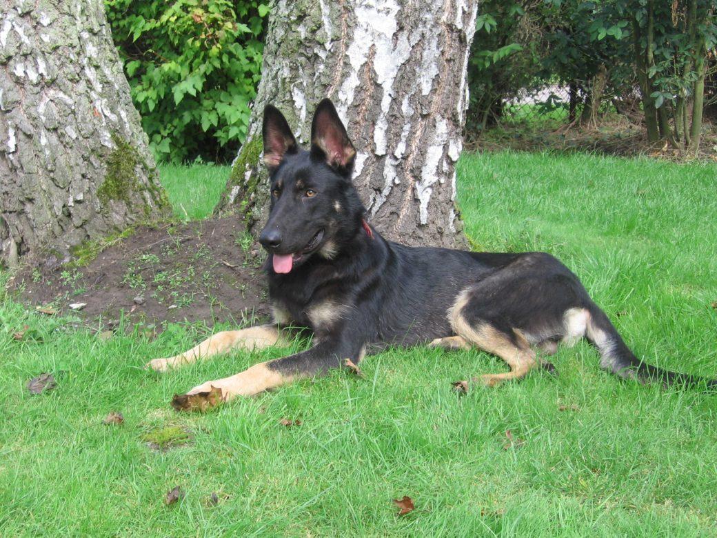 chiot berger allemand noir et feu education canine nord