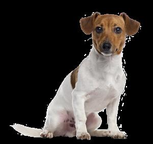 Jack Russell éducateur canin clef aux pattes
