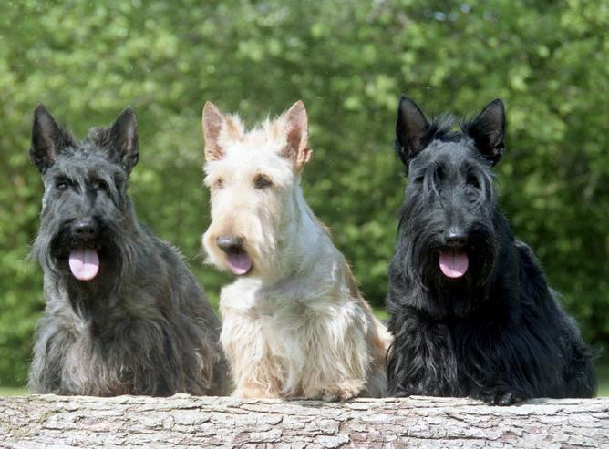 Race scottish Terrier éducateur canin Clef aux pattes