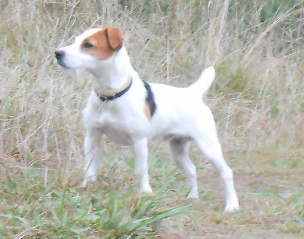 chiot chien chasse jack russell terrier éducateur canin comportementaliste nord